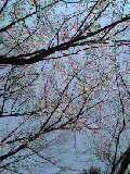 sakura2006.jpg